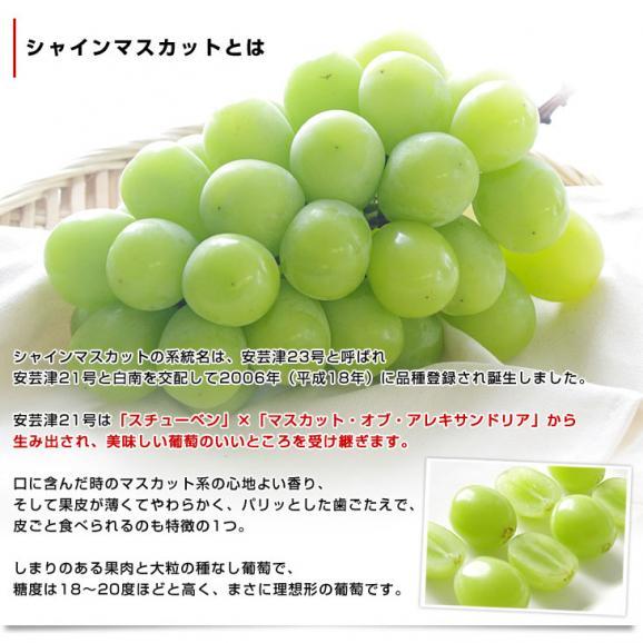 山梨県または長野県産 シャインマスカット1キロ(2房から3房)送料無料 ぶどう ブドウ 種なしぶどう04