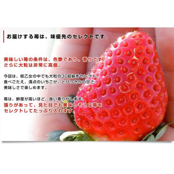 栃木県より産地直送 JAかみつが 本場の栃乙女 3L超級の超大粒 1キロ (12粒から15粒×2P) いちご イチゴ 苺 送料無料 上都賀04