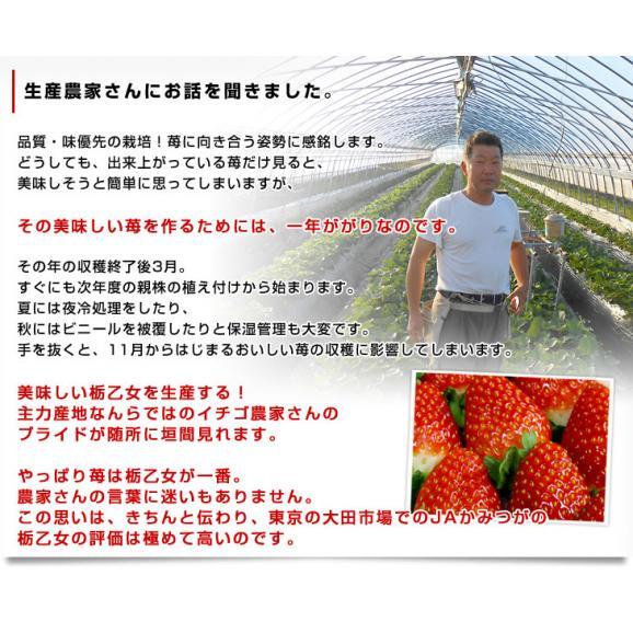 栃木県より産地直送 JAかみつが 本場の栃乙女 3L超級の超大粒 1キロ (12粒から15粒×2P) いちご イチゴ 苺 送料無料 上都賀05