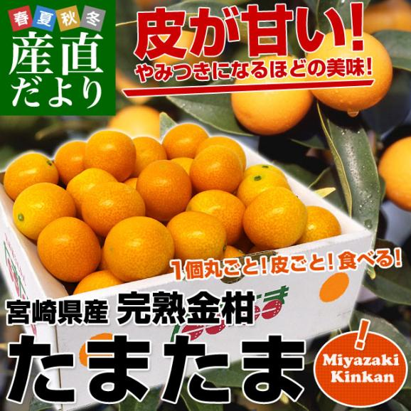 宮崎県から産地直送 JA宮崎中央 たまたま 2Lサイズ 1キロ (約40玉) 送料無料 きんかん 金柑 完熟きんかん02