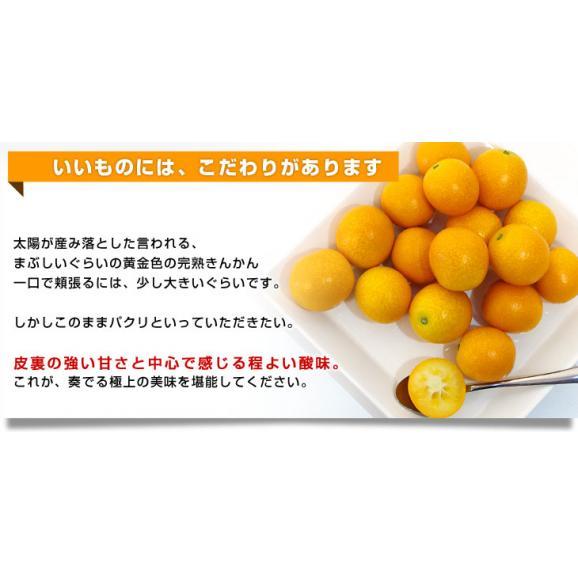 宮崎県から産地直送 JA宮崎中央 たまたま 2Lサイズ 1キロ (約40玉) 送料無料 きんかん 金柑 完熟きんかん04