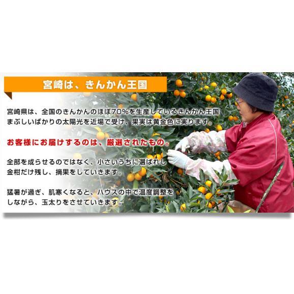 宮崎県から産地直送 JA宮崎中央 たまたま 2Lサイズ 1キロ (約40玉) 送料無料 きんかん 金柑 完熟きんかん05