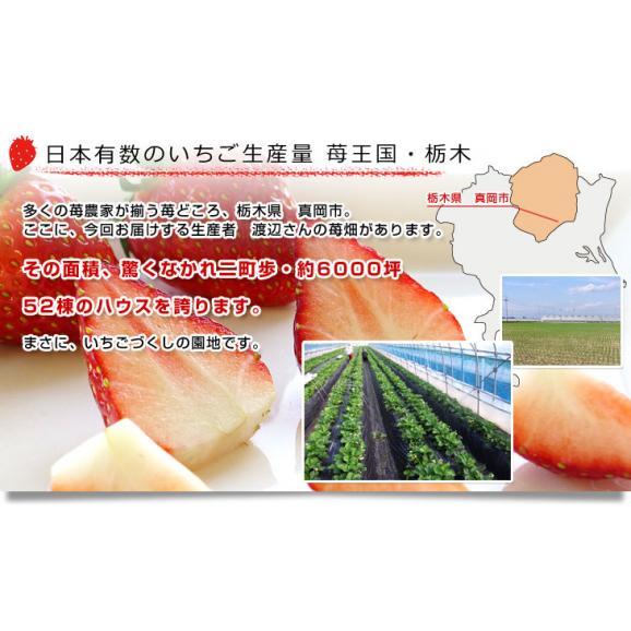 栃木県より産地直送 渡辺さんちのTちゃんいちご(栃乙女)大盛り1.2キロ(不揃い:28粒から42粒) 苺 いちご イチゴ ストロベリー  送料無料05