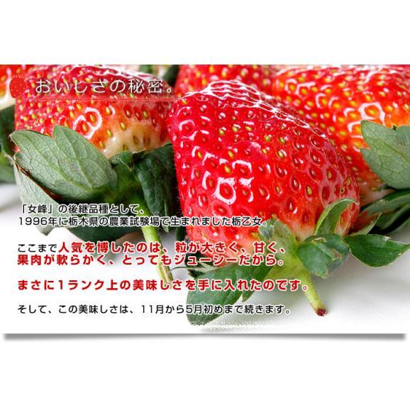 栃木県より産地直送 渡辺さんちのTちゃんいちご(栃乙女)大盛り1.2キロ(不揃い:28粒から42粒) 苺 いちご イチゴ ストロベリー  送料無料06