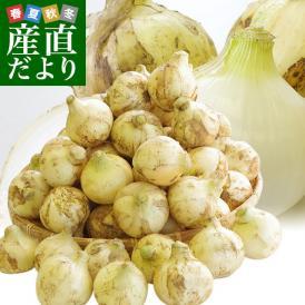 熊本県より産地直送 JAあしきた サラたまちゃん LAサイズ 約10キロ 30玉前後 玉葱 タマネギ