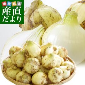 熊本県より産地直送 JAあしきた サラたまちゃん LAサイズ 約5キロ (15玉前後) 送料無料 玉葱 タマネギ サラ玉 さらたま さらタマ