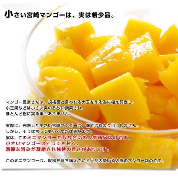 宮崎県より産地直送 JA宮崎中央 完熟ミニマンゴー 500gから600g (3玉から4玉)  送料無料 みにまんごー 宮崎マンゴー06