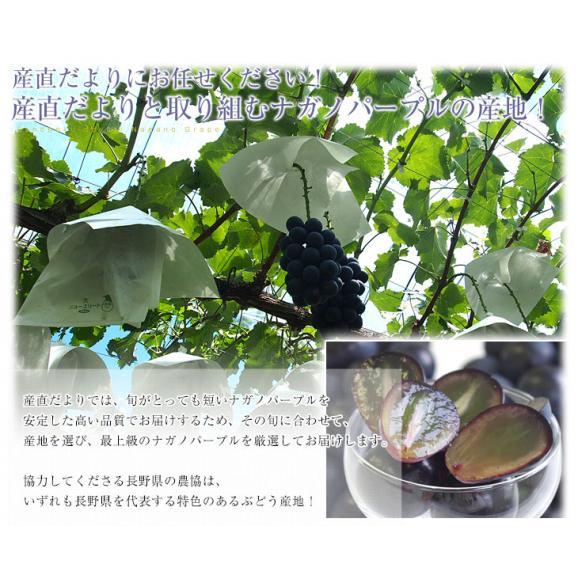 長野県産 ナガノパープル 合計1.2キロ(2房から3房) ぶどう 葡萄 送料無料 ※クール便06