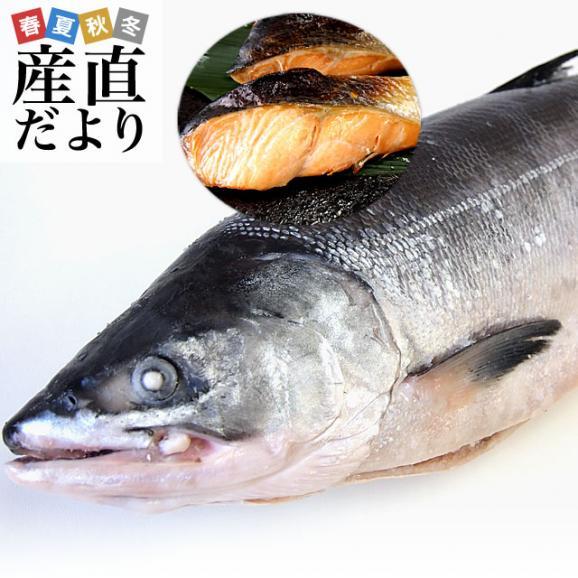 送料無料 北海道から直送  北海道加工  時鮭(トキシラズ) まるごと1尾 大型2.5キロ (ロシア産) ときさけ トキサケ01