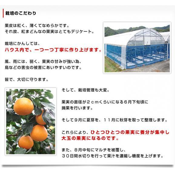 送料無料 愛媛県より産地直送 JAえひめ中央 紅まどんな 良品 3LからLサイズ 約3キロ(10玉から15玉) オレンジ 冬ギフト 御歳暮06