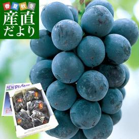 送料無料 岡山県より産地直送 JAつやま ニューピオーネ 秀品 約2キロ (4房から5房) 露地栽培 葡萄 ぶどう ブドウ