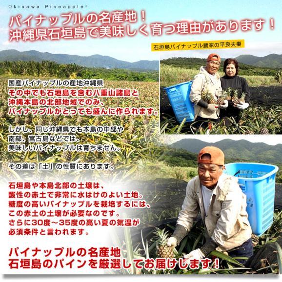 送料無料 沖縄県より産地直送 JAおきなわ 石垣島のピーチパイン 3玉セット 約1.8キロ(1玉600g前後×3玉)05