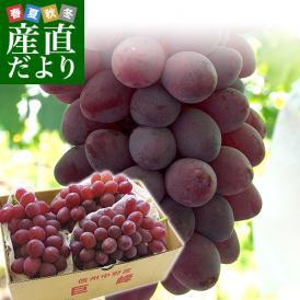 送料無料 長野県より産地直送 JA中野市 サニールージュ 1.2キロ (2房から4房) ぶどう 葡萄 ※クール便