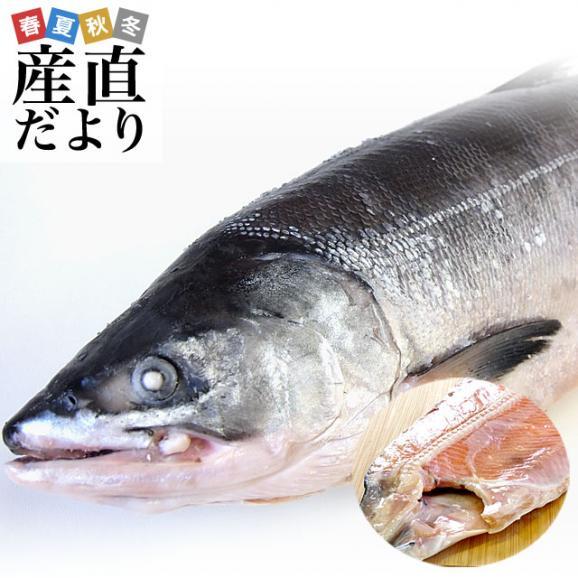 北海道から直送 北海道産 時鮭(トキシラズ)<半身フィーレ:甘塩> 900g前後 送料無料 ときさけ シャケ01