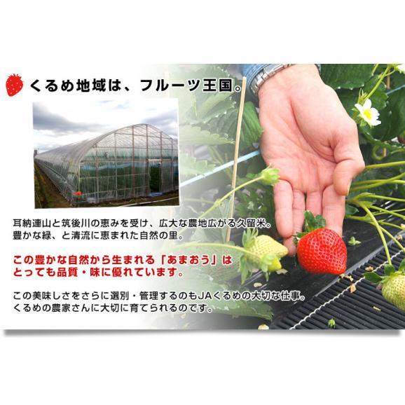 福岡県より産地直送 JAくるめ あまおういちご DX:ギフト用デラックス 約540g(270g×2パック) 送料無料 苺 いちご イチゴストロベリー05