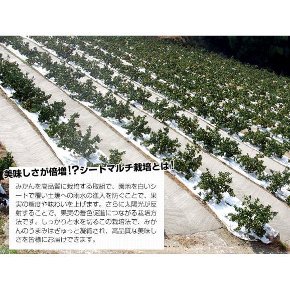 福岡県より産地直送 JAみなみ筑後 博多マイルド SSサイズ 約5キロ(80玉前後)送料無料 蜜柑 みかん06