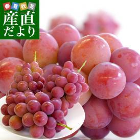 希少な新品種!食べ応えのある大型の種なし赤葡萄