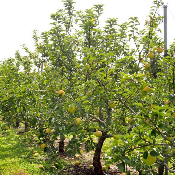 送料無料 岩手県より産地直送 JAいわて中央 こうこう 5キロ (14から20玉) 林檎 りんご リンゴ04