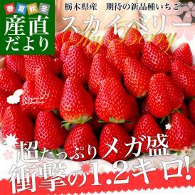 送料無料 栃木県産 話題の新品種いちご スカイベリー 超大盛1.2キロ(300g×4P)(JAかみつが又は、JAおやま)いちご 苺 市場スポット ※クール便発送