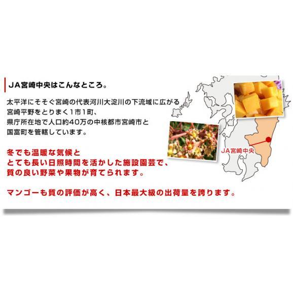 送料無料 宮崎県より産地直送 JA宮崎中央 宮崎産完熟マンゴー 大玉2L×2玉 700g以上 (350gから459g×2玉) マンゴー まんごー05