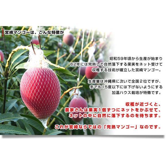 送料無料 宮崎県より産地直送 JA宮崎中央 宮崎産完熟マンゴー 大玉2L×2玉 700g以上 (350gから459g×2玉) マンゴー まんごー06