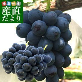 送料無料 長野県より産地直送 JA信州うえだ ナガノパープル 2房入り化粧箱 1キロ(約500g×2房) ぶどう 葡萄 ※クール便