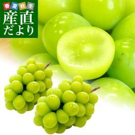 送料無料 長野県より産地直送 JA信州うえだ シャインマスカット 合計1.2キロ(大房2房入り)ぶどう 葡萄