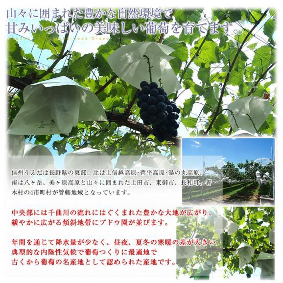 送料無料 長野県より産地直送 JA信州うえだ シャインマスカット 合計1.2キロ(大房2房入り)ぶどう 葡萄06