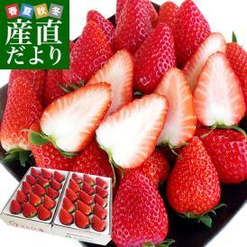 静岡県より産地直送 JA伊豆の国 プレミアムいちご きらぴ香 大粒タイプ 約900g(9粒から15粒入り×2P) 送料無料 苺 いちご イチゴ ※クール便発送