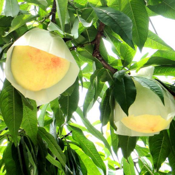和歌山県より産地直送 JA紀の里 あら川の桃 清水白桃 赤秀品 1.8キロ (6玉から8玉) 送料無料 桃 もも04