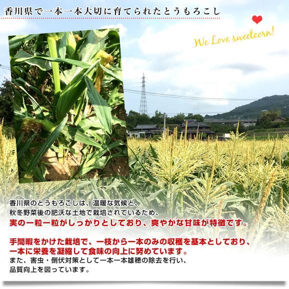 送料無料 香川県より産地直送 JA香川県 朝採りゴールドラッシュ Lサイズ 約3キロ(10本入)とうもろこし トウモロコシ ※クール便05