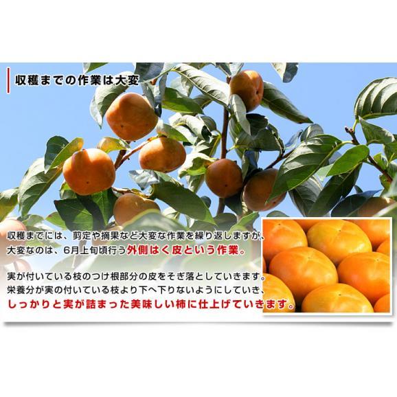 和歌山県より産地直送 JA紀の里 たねなし柿 2LからLサイズ 7.5キロ(32玉から36玉)カキ 刀根柿 平核無柿 とねがき ひらたねなしがき05