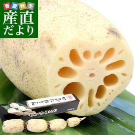 送料無料 茨城県産JAなめがたしおさい 行方のレンコン 1.3キロ 化粧箱 (1本入り(3節から4節)) 蓮根 れん根 市場スポット