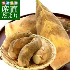石川県産 JA金沢市 加賀野菜 タケノコ 2キロ (4本から8本前後) 送料無料 市場発送 たけのこ 筍 竹の子