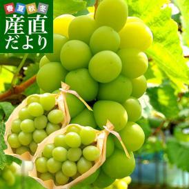 敬老の日にも最適 山梨県産または、長野県産 シャインマスカット 1キロ(500g×2房)送料無料 市場スポット ぶどう 葡萄