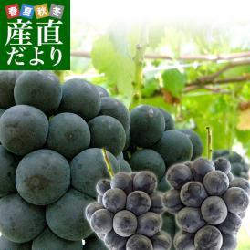 山梨県産 藤稔(ふじみのり)1キロ以上(約500g×2房)葡萄 ぶどう 送料無料