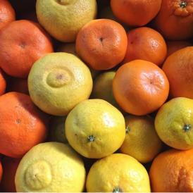 【宇和島から旬の味わいをお届け】柑橘ソムリエ厳選 季節の柑橘詰め合わせ(1月) 10kg