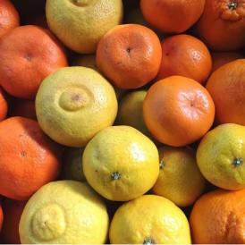 【宇和島から旬の味わいをお届け】柑橘ソムリエ厳選 季節の柑橘詰め合わせ(2・3月) 10kg