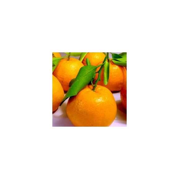和歌山産 ご家庭用 葉付きポンカン5kg 約30〜40個02