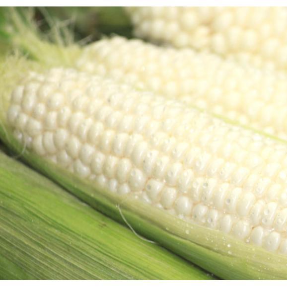 ピュア ホワイト トウモロコシ