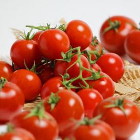 北海道富良野産 フルーツトマト(中玉) 訳あり 1kg(SサイズからLサイズ込)【送料無料】