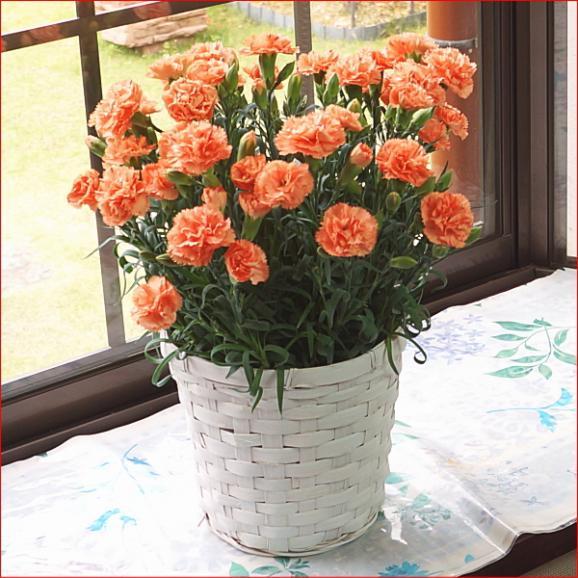母の日 花 ギフト 送料無料 カーネーション鉢植えオレンジ5号 早割り 早期割引03