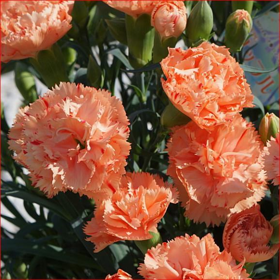 母の日 花 ギフト 送料無料 カーネーション鉢植えオレンジ5号 早割り 早期割引04