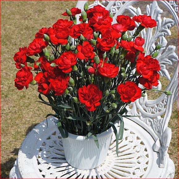 母の日 花 スイーツ ギフト 送料無料 カーネーション鉢植え赤4号&クッキー4個 早割り 早期割引02
