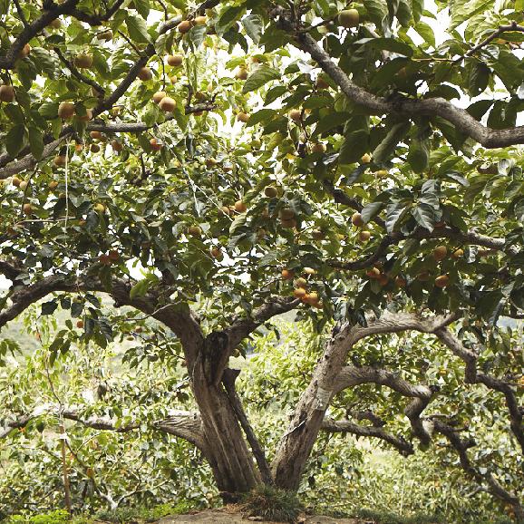 """樹齢100年を越える木々から収穫される希少な柿 """"百年柿 嘉来"""" -木箱1段-05"""