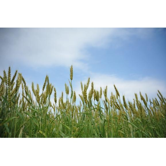 【箱入り6袋セット】「太陽のおやつ - 湘南の麦畑から - 」 太陽のパンケーキ バターミルク 200g (湘南小麦石臼挽き全粒粉使用) 水だけで調理OK!06