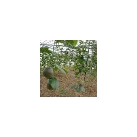 エコファーマーのパッションフルーツ  約1kg 【発送時期4月上旬~7月下旬】03