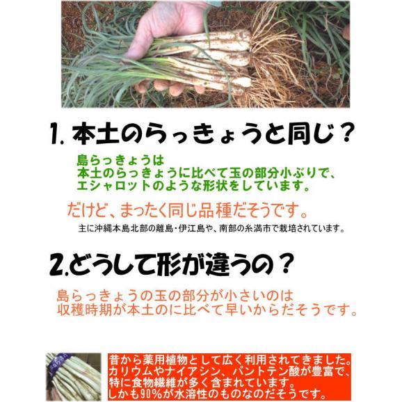島らっきょう 2kg (ラッキョウ あて つまみ) 【発送年中、但し欠品時あり、夏以降は緑葉無しです】03