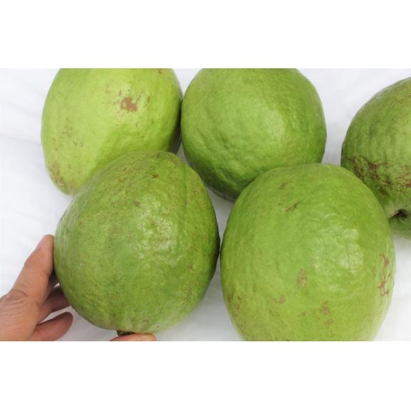 沖縄県産 グアバ 未熟サラダ用 約2kg ※発送時期3月上旬~ 01