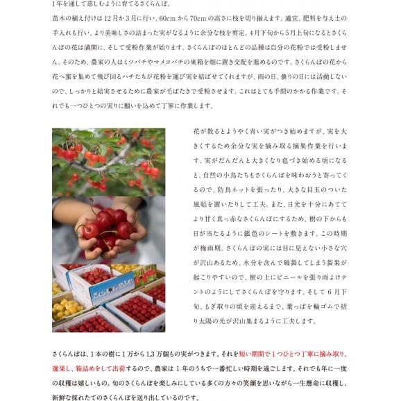 予約商品【送料無料※一部地域は別途送料】さくらんぼ 佐藤錦 ご家庭用 約1kg c104
